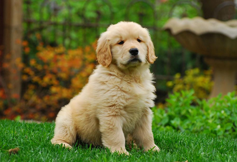 Fluffy Golden Retriever Puppy Animal Poster Dog Photo Dog Print Wall Art Ebay